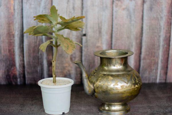 Felt Bush Plant Kalanchoe Beharensis Buy Succulent Online India Gardening Store