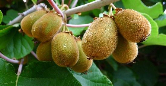 Can Kiwi Grow In India Kiwi Cultivation In India India Gardening