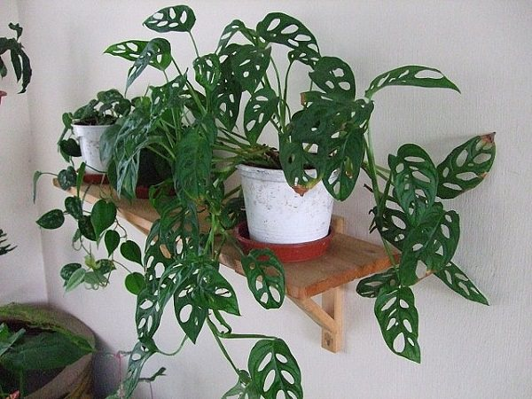 10 Best Indoor Climbing Plants In India India Gardening