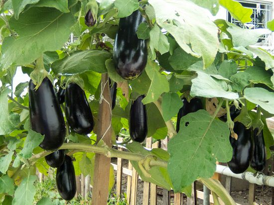 Top Brinjal Varieties In India Different Types Of Brinjal India Gardening