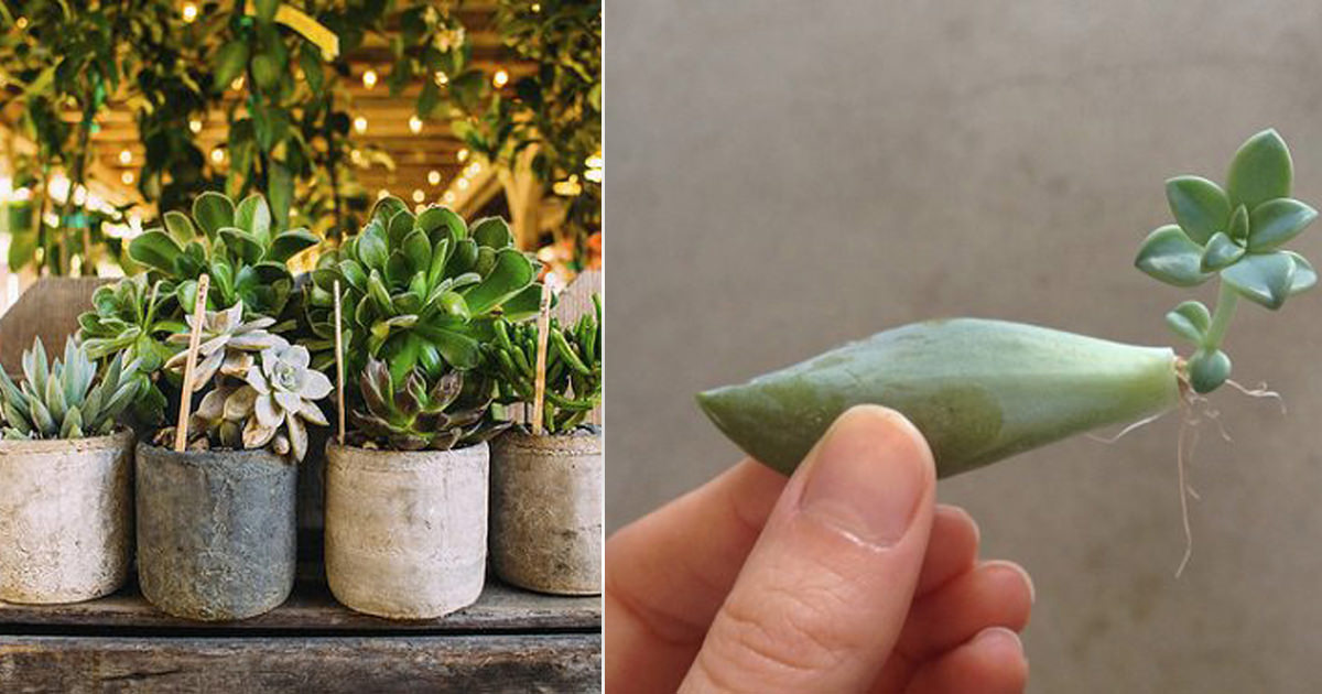 Do Succulent Leaves Grow Back India Gardening