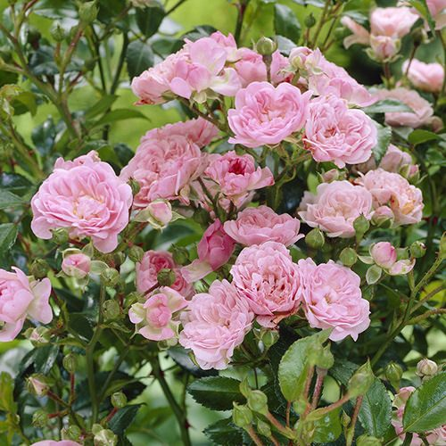 13 Types Of Roses In India Best Rose Varieties India Gardening
