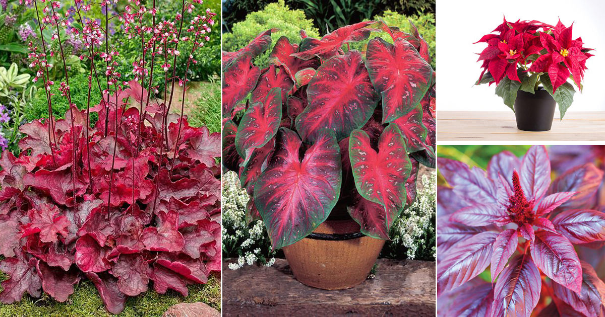 15 Gorgeous Plants With Red Leaves In India India Gardening